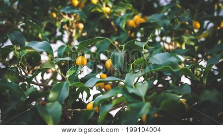 Kumquats are a group of small fruit-bearing trees in the flowering plant