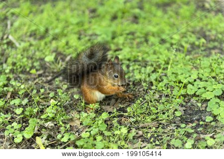 red squirrel with bushy tail rodent sitting on the ground on the grass