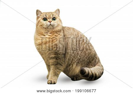 A peachy British cat sits on a white background. A cat is a golden chinchilla.