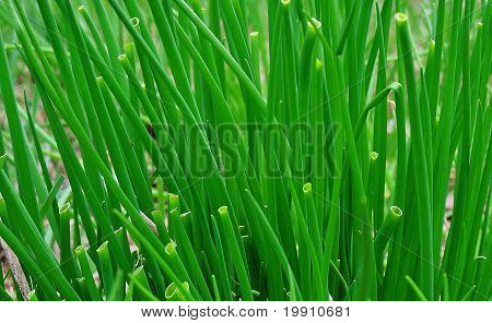 chives growing wild