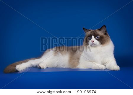 A rag doll of a cat lies on a blue background. Cat with blue eyes.