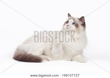 A rag doll cat lies on a white background. Cat with blue eyes.