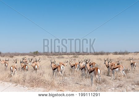 A herd of a springbok Antidorcas marsupialis in Northern Namibia