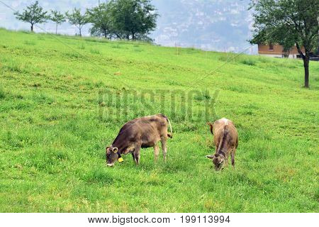 Cows grazing grass on green farmland field of an alpine meadows Switzerland