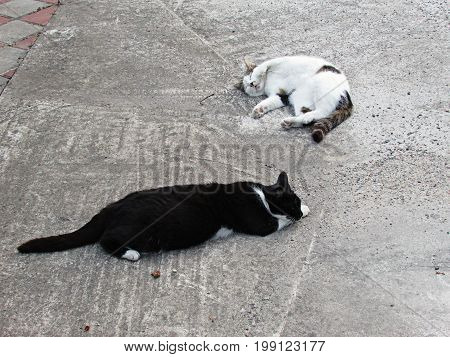 Two happy satisfied white-headed and white-colored happy cat sleep on an asphalt road