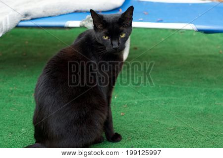 Eye level view of Havana Brown Cat sitting outdoors looking at camera. this black cat has big green eyes.
