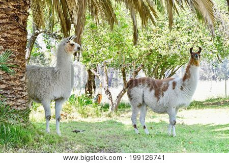 two alpacas behind a palm tree in a green paddock. white and braun alpaca looking attentive.
