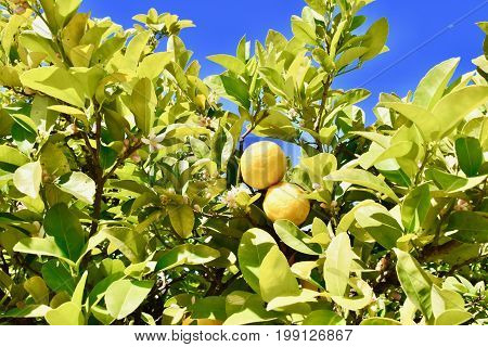 Lemon tree with lemons. Old brad of lemons, yellow lemons,