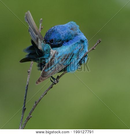 A male Indigo Bunting (Passerina cyanea), engaged in grooming its feathers while perched on a bare branch in Andover, Sussex County, New Jersey, USA.