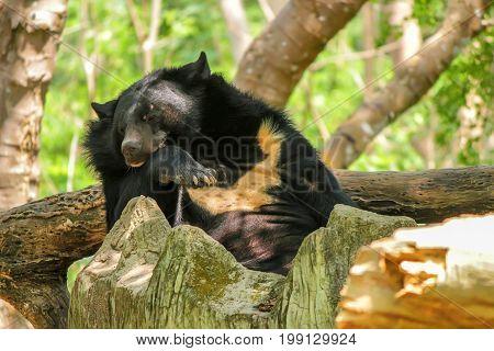 Close up asian black bear or Ursus thibetanus resting in zoo