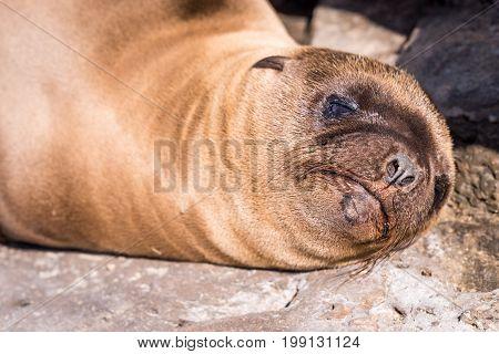 Baby Sea Lion face close up sleeping