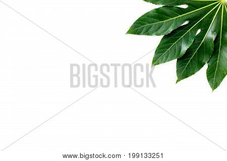 big jungle leaf on white background top view.