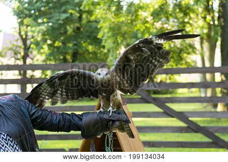 one 1 predatory bird spreading wings sitting on the arm of a man eagle Falcon