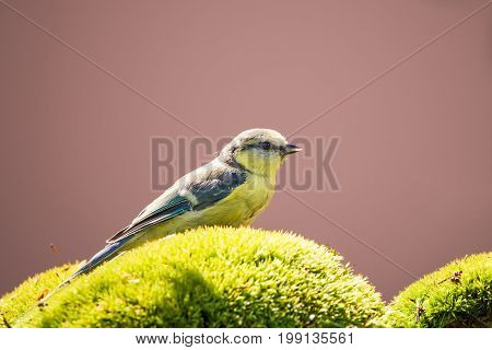 One Blue Tit With Blue Wings Perched On Green Moss
