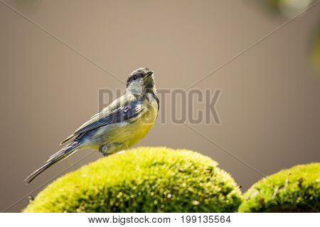 One Great-tit With Yellow Chest Perched On Green Moss