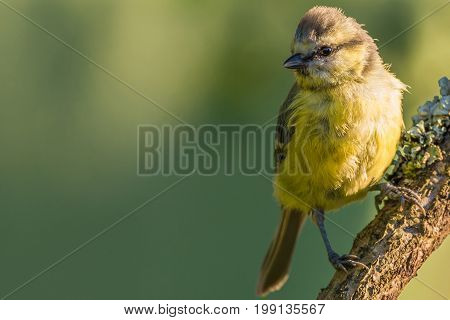 Single Baby Blue Tit Perched On Wooden Branch