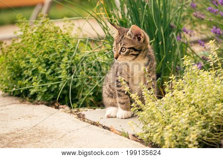 Horizontal photo of few weeks old kitten. Tomcat with tabby fur white paws and chest. Cat sits on concrete tile in the garden with few herbs around like chive or thyme.