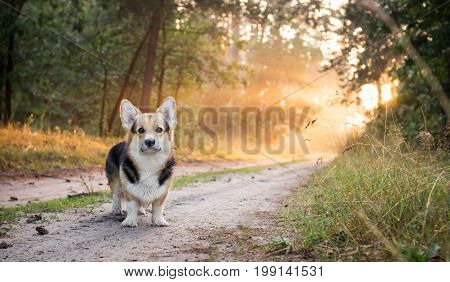 Morning. Fog. Dog breed Welsh corgi pembroke for a walk in the beautiful forest.
