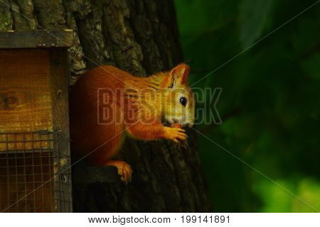 Young Squirrel in a park, nutcracking in a birdhouse