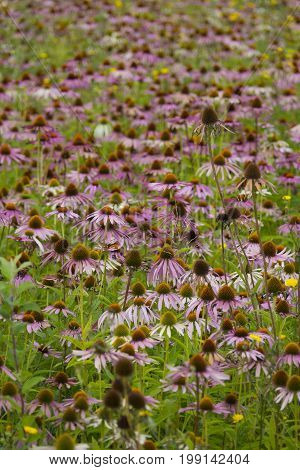 plant Echinacea purpurea - in the garden