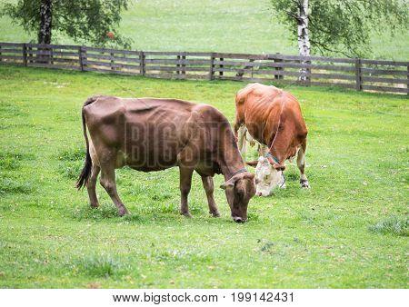 Cows in the alpine meadow eat grass. Tyrol. Austria.