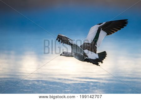 A gull is flying over the surface of the lake. The background is blurred. Sky with clouds are displayed on the surface of the lake.
