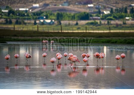 A flock of pink flamingos in the lake. Birds on the background of the city. Birds are reflected on the surface of the water. Pink flamingos stand in the water in the countryside.