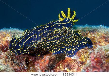 Florida Regal Sea Goddess Nudibranch