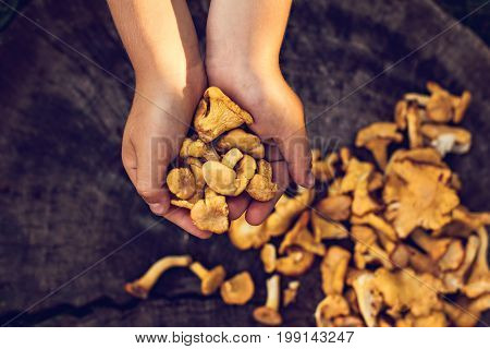 Mushrooms Chanterelle In The Basket
