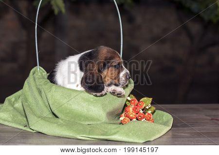 Pretty  Basset Hound Puppy