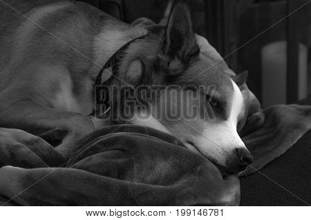 Black and white of dog sleeping on a fuzzy blanket.