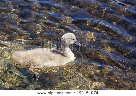 One cygnet swimming in clear rippled water on a sunny day. With space for text.