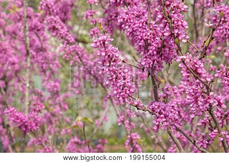 Beautiful redbud blossoms in full bloom in spring.