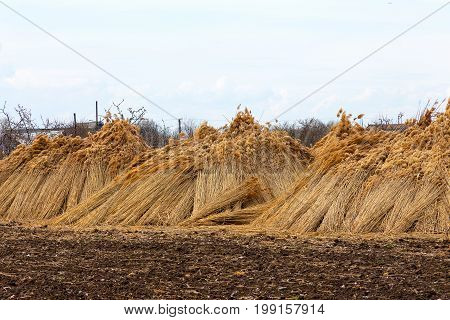 Upright Against A Tree, Bundles Harvested Reed In A Flood Plain Next River Are Drying And Waiting Fo