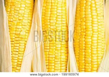 Ripe sweet corn on the cob for eating