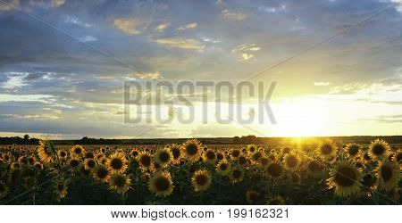 Sunflower field in summer at sunset. The beautiful clouds above the sunflower field at sunset. The sun sets on the horizon. Beautiful sunflowers illuminated by the sun. Nature.