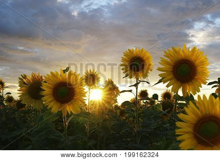 Sunflower field in summer at sunset. The beautiful clouds above the sunflower field at sunset. Beautiful sunflowers illuminated by the sun. Nature.