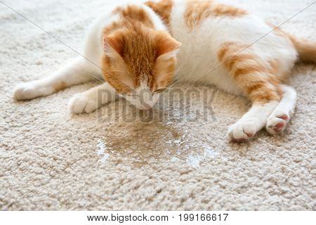 Cute cat lying on carpet near wet spot
