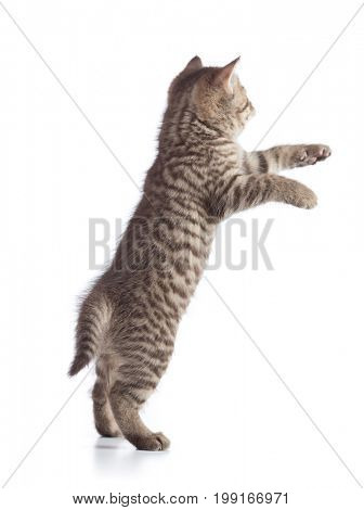 Standing or jumping kitten cat rear view