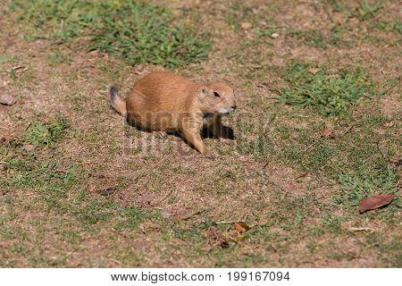 Black-Tailed Prairie Dog Cynomys ludovicianus Single adult