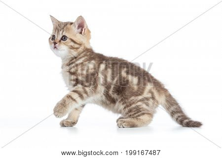 Young kitten side view. Walking tabby kitten isolated.