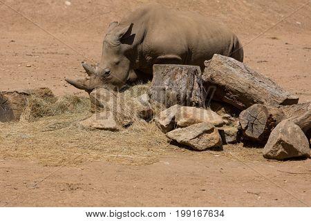 African wildlife rhinoceros