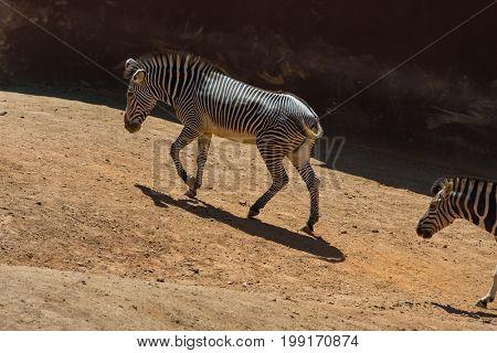 Zebras walking on the savanna
