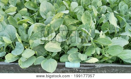 Green leaf. Chinese Kale vegetable in Hydroponics farm.