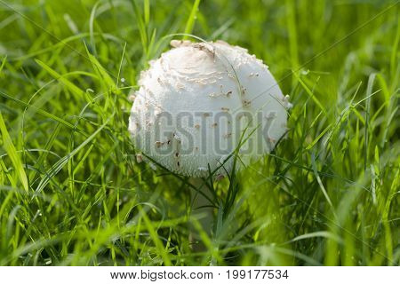 Close up white mushrooms in the rainy season. In the morning