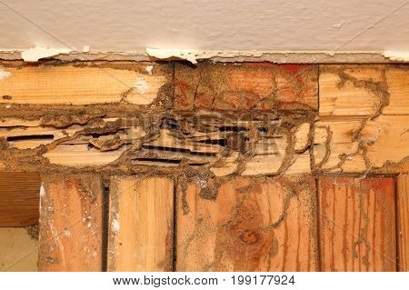 Subterranean termite damage on wall studs behind the wall board, mud tubes and termite tracks or burrows.