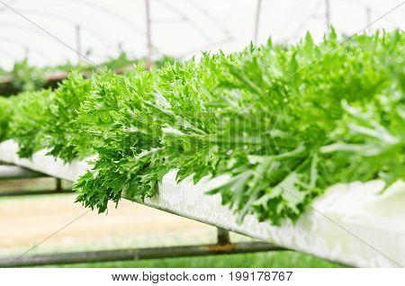 Green Vege Hydroponic farming (hydroponic lettuce farm)