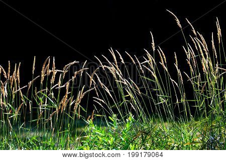 Tall grass in the meadow against black background