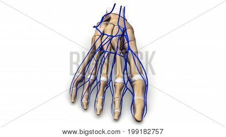 Each of your feet has 26 bones, 33 joints, and more than 100 tendons, muscles, and ligaments.