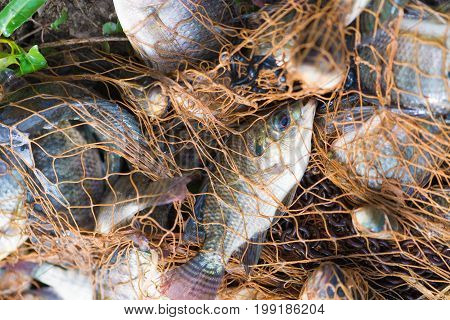 Fish In Fishing Net. Animal..